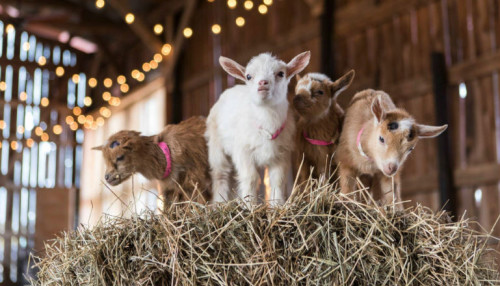 Everything You Need to Know About Baby Goat Yoga